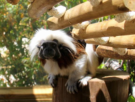 Wild About Florida - Cotton Top Tamarin